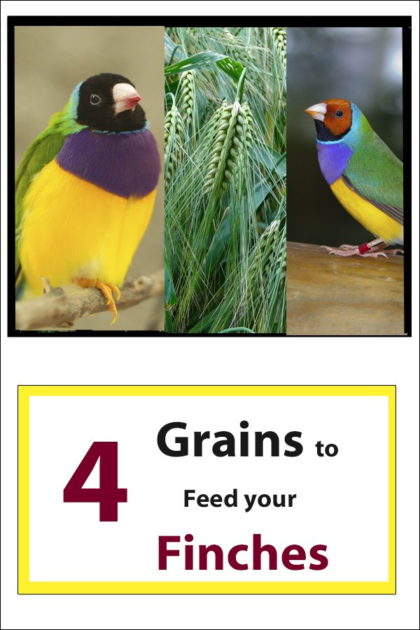 4 Grains to feed finches