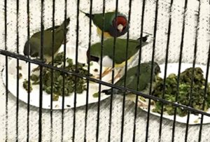 Gouldian finches enjoying chop