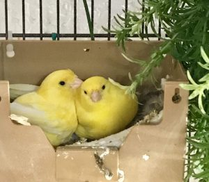 Pair of Canaries