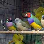 Parent Gouldians with baby