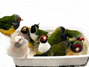 Gouldian finches in bath
