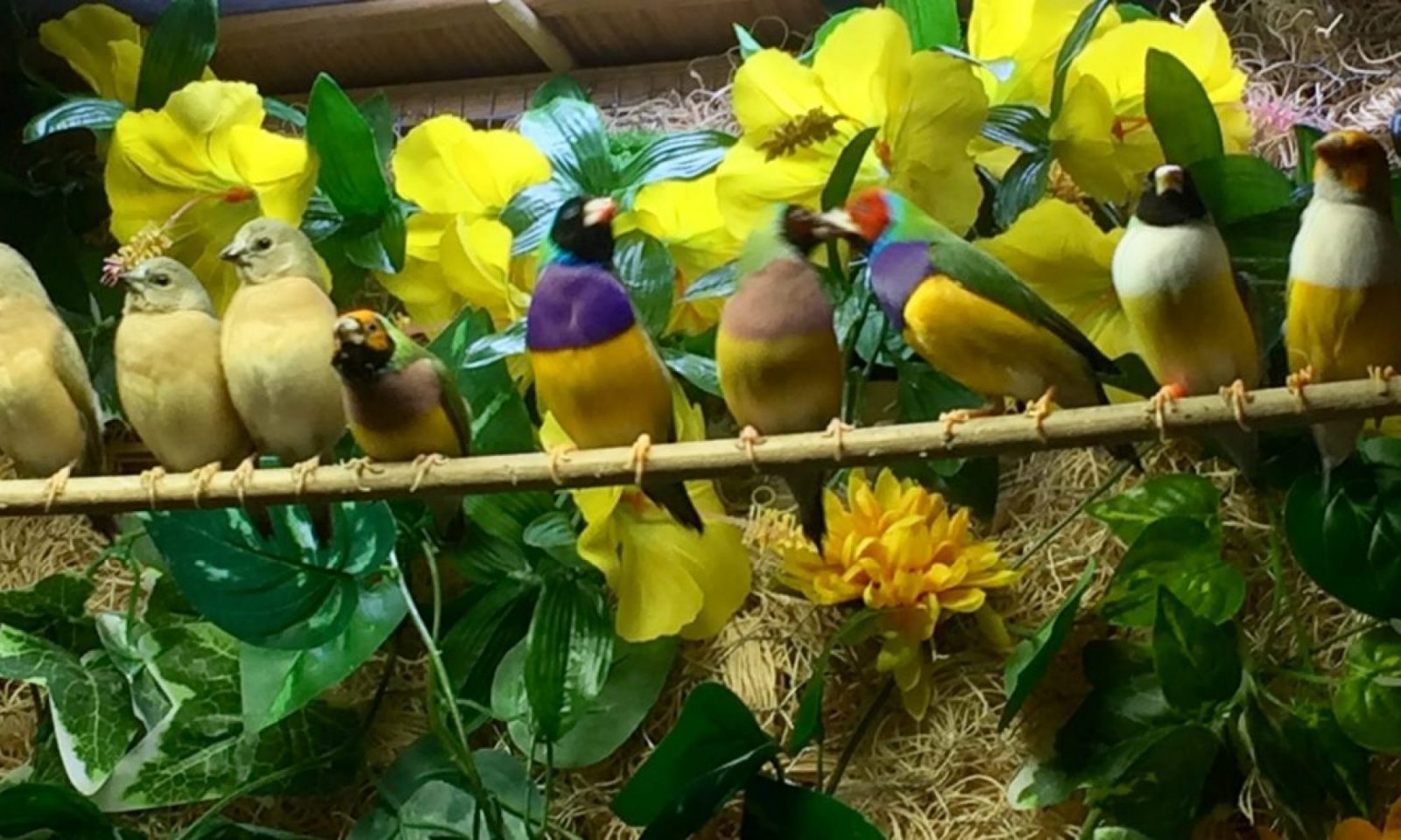 Gouldian Finch Information Center