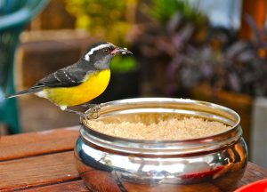 Finch eating millet from bowl